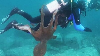 深海八爪魚「獵殺潛水員」!體長2公尺死咬不放 想把人拖進巢穴吃掉
