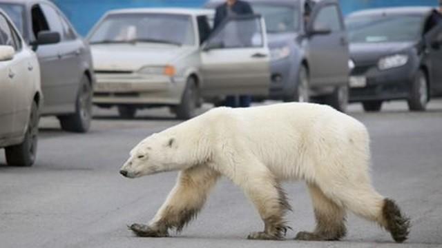 車陣中驚見瘦弱白影!北極熊找食物「盲游1500公里」不顧危險到處嗅聞