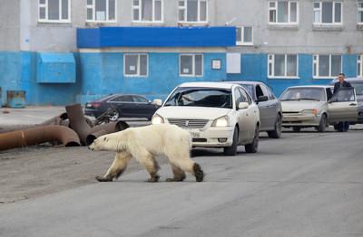 北極熊「奔數百公里」入城翻垃圾吃