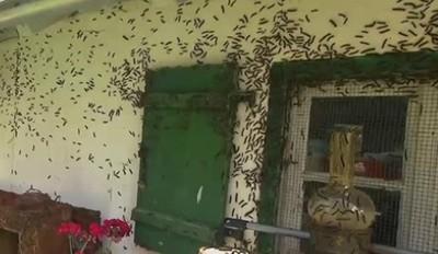 舞毒蛾入侵!漫進屋裡狂吃人類食物