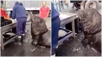 頭抬高高等魚吃!「巨大野生南海獅」闖魚市賣萌:肚子餓快餵我~