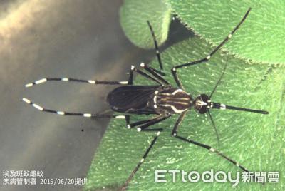 登革熱補助分品種? 疾管署解釋「埃及斑蚊傳染力」