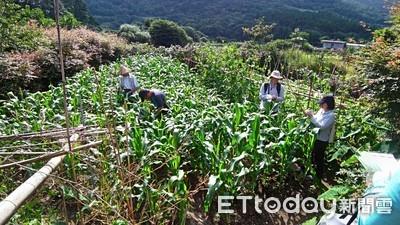 專啃硬質玉米!雲嘉地區秋行軍蟲增加