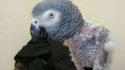 鸚鵡自殘拔毛怎麼辦?醫生也難解的「啄羽症」 耐心陪伴才能找出原因