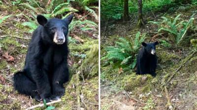 小黑熊因為「太親人」被安樂死!捕捉大隊接近牠也沒有逃跑
