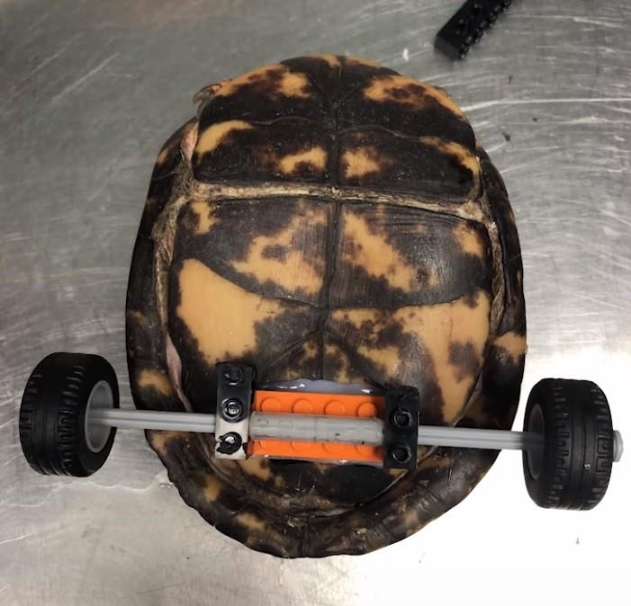 ▲▼重生的烏龜。(圖/翻攝自Facebook/LSU Veterinary Teaching Hospital)