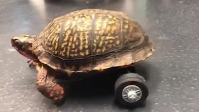 逃家烏龜後腿全沒了!獸醫院實習醫生靈機一動 用樂高替牠找回雙腿