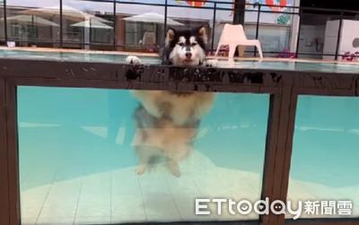 二哈水中漂浮放鬆 泳池當冷泉泡
