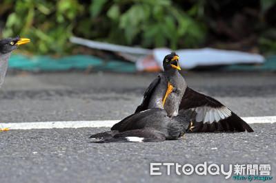 鳥界黑幫火拼!八哥壓制對方狂啄