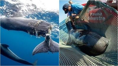 領航鯨被人為「斷尾」 僅剩薄皮連接! 攝影師親眼看安樂死:很痛心