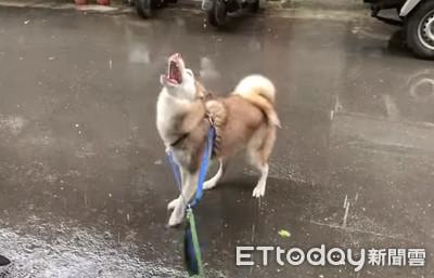 二哈雨中弄獅、吞雨自嗨 奴才昏
