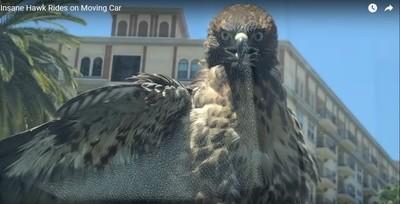 老鷹臭跩臉搭便車 網:被當Uber