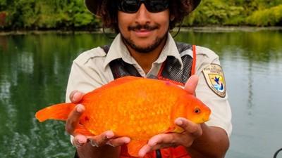 棄養金魚沖下馬桶..長成35公分巨型魚!數千萬條游進湖泊破壞生態系統