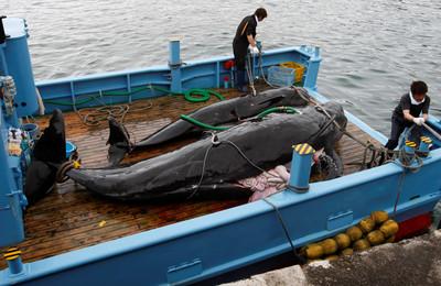恢復商業捕鯨 日本半年要抓227頭