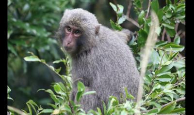 沖繩動物園猴子越獄 自己拿鑰匙開門