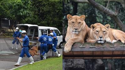 動物園封鎖「獅子脫逃大演習」 工讀生中槍趴倒 一旁真獅冷眼哼氣