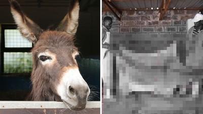 還沒死透「急著割皮」賣錢!中藥商提煉「阿膠」 殘殺驢子讓貴婦變水水