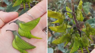 一串蜂鳥長在植物上?鳥喙翅膀超明顯 網友發問讓「青鳥花」暴紅