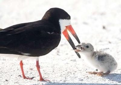 鳥媽媽餵寶寶 畫面放大竟是餵毒
