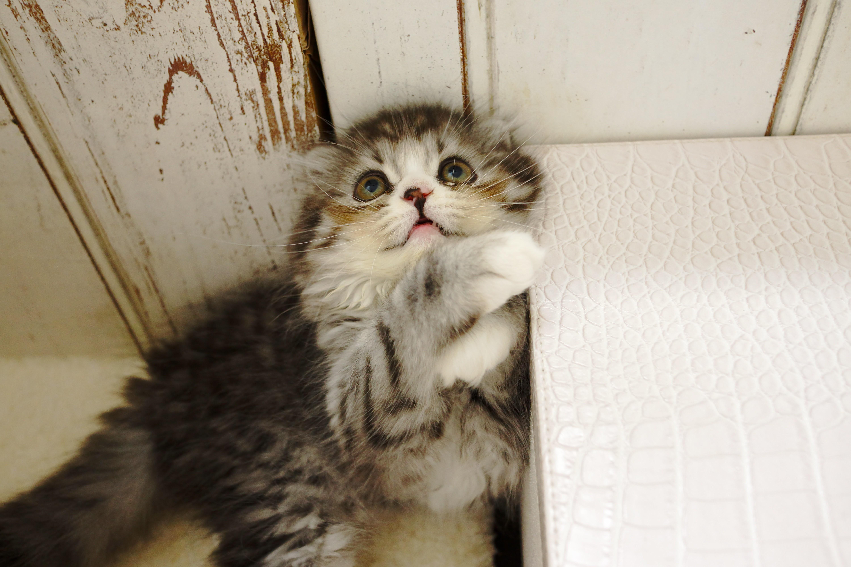 ▲貓咪,貓貓,貓皇,毛小孩,貓主子。(圖/取自免費圖庫Pakutaso)