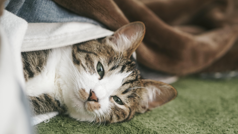 ▲貓咪,貓貓,貓皇,毛小孩。(圖/取自免費圖庫Pakutaso)