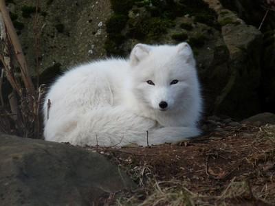超狂北極狐寶寶「76天跑3506公里」
