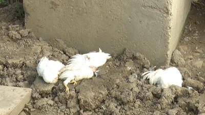 6浪發狠逞兇 60多隻雞鴨慘死