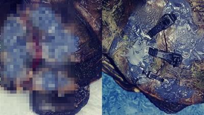 內衣拯救了野龜!烏龜破殼很難救 動保組織用內衣扣修復外殼