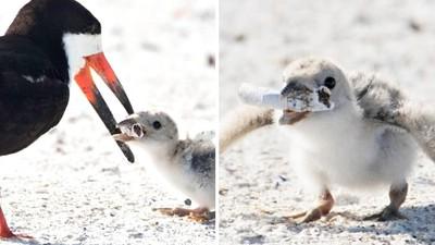 吃下去必死無疑!母鳥「餵幼鳥吃菸蒂」 攝影師嘆:拍了很多張類似的