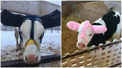 太冷會凍傷!飼主替小牛「戴耳罩」保暖 粉紅耳朵萌萌噠