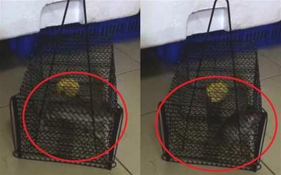 花3天誘捕 他抓到大老鼠卻崩潰:怎麼處理