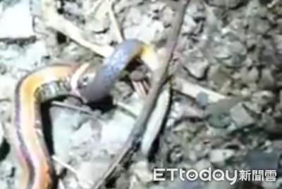 奧萬大「蛇吞蛇」珍貴畫面直擊
