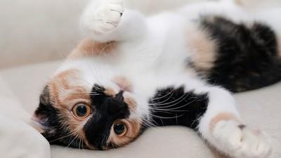 「貓咪露肚肚」≠展現友好!別急著伸手搓揉,請先觀察耳朵和叫聲