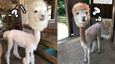 日本牧場幫羊駝剃毛消暑 秒變「長脖子貴賓」表情也太困惑