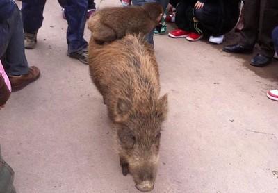 9歲「野豬騎士」獼猴逃出動物園