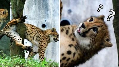 獵豹出糗「一臉錯愕」!威猛跳樹卻卡住了…攝影師把鏡頭拉近噴笑