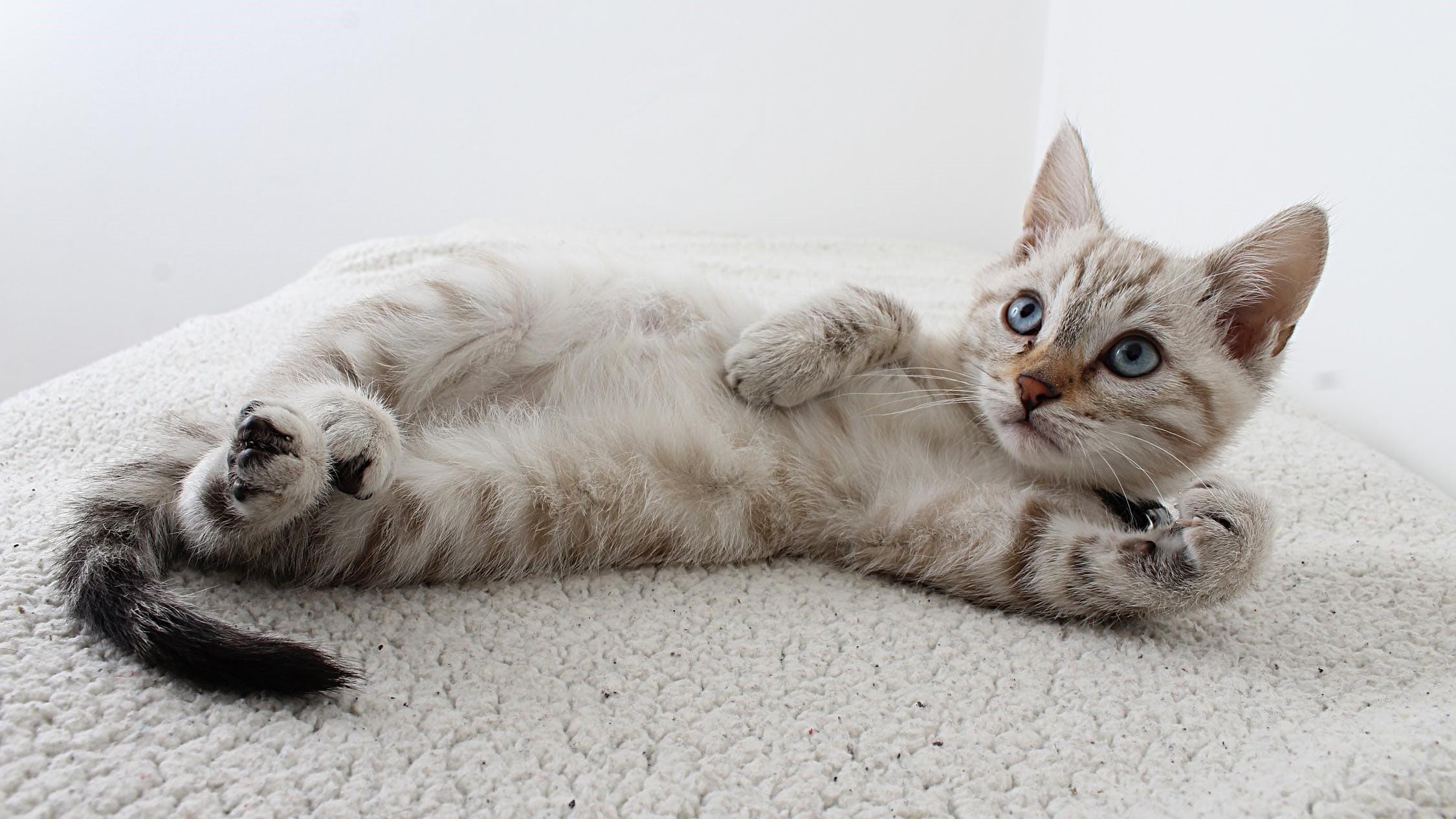 ▲▼ 貓。(圖/取自免費圖庫Pexels)