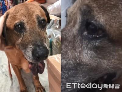 13歲老狗發現自己被棄養 淚崩了