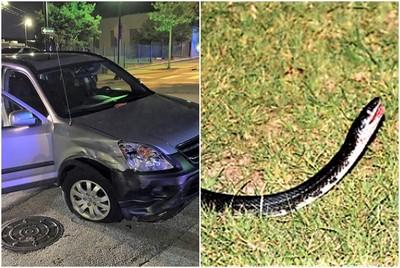 帶蛇劫車! 狂女拿牠猛砸駕駛