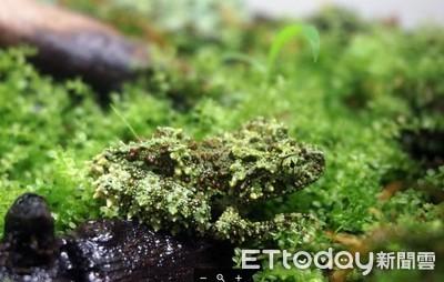 綠綠凸起像苦瓜 點名蘚苔蛙超難