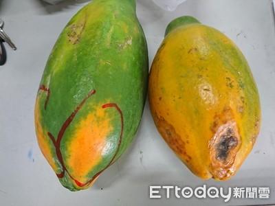 雨對木瓜危害重 要掌握復耕訣竅