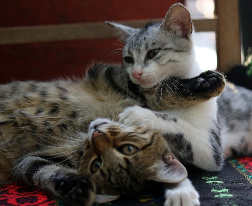 ▲▼ 貓。(圖/取自免費圖庫Pixabay)