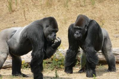 黑猩猩「集體看電影」 分享會上癮