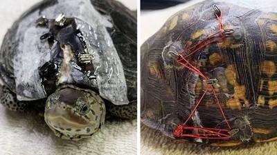 捐胸罩救小烏龜!動物醫生「剪釦子拼龜殼」意外成功 萬件胸罩湧入動保所