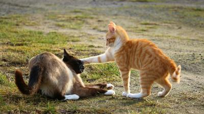 養新貓解決寂寞「反可能逼瘋舊貓」 行為醫師:陪牠比較實際
