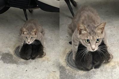 日本貓媽媽豪雨中以身護小貓