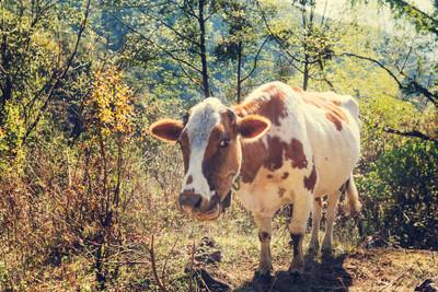 男農場偷母牛 下體被踢離奇身亡