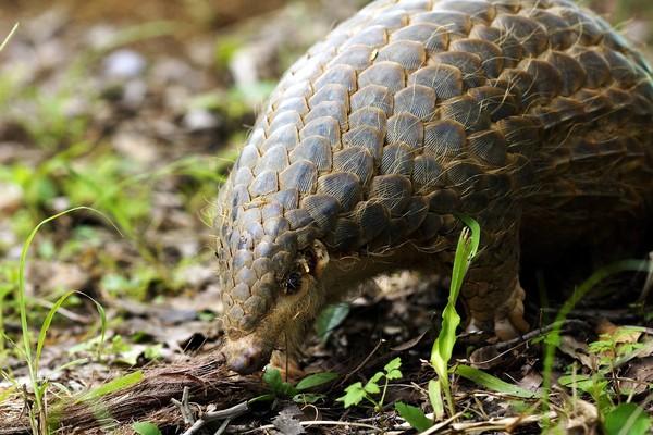 「巨型穿山甲」匍匐台北動物園 原來是熱帶雨林動物新家