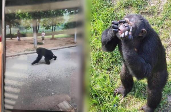兇猛黑猩猩逃脫!動物園一度上演「人獸對峙」...遊客急撤離