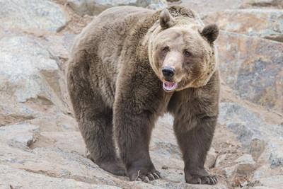 影片曝!馬戲團300KG棕熊「撲咬訓練師」